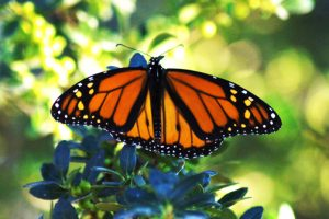 It's Monarch time in West Texas once more
