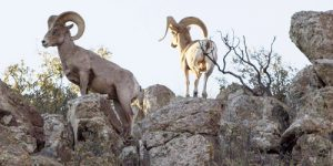 Big Horn Sheep the group tracked in Big Bend National Park