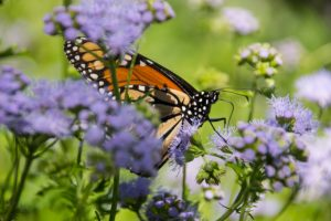 Campus a fall oasis for southbound Monarchs